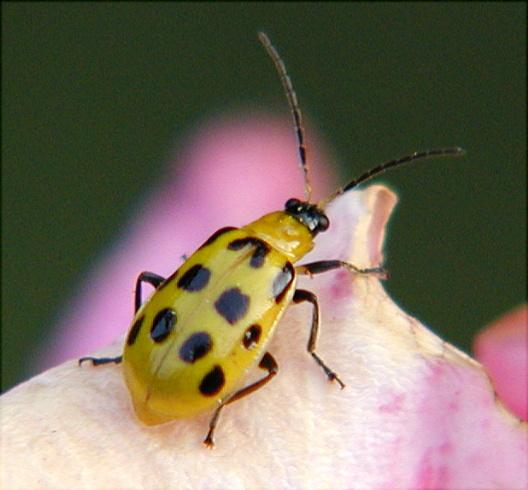 Cucumber Beetle on Rose - Diabrotica undecimpunctata