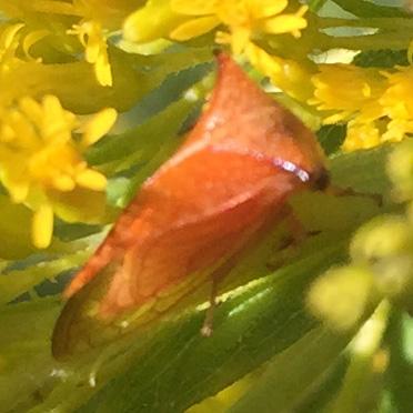 Buffalo Treehopper? - Stictocephala