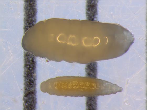 Rhopalomyia anthophila larvae + parasitoid - Rhopalomyia anthophila
