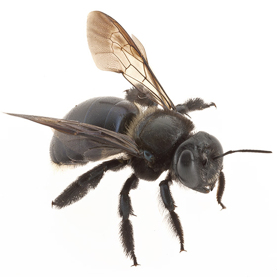 id help - Xylocopa micans
