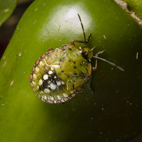 Southern Green Stink Bug Nymph - Nezara viridula