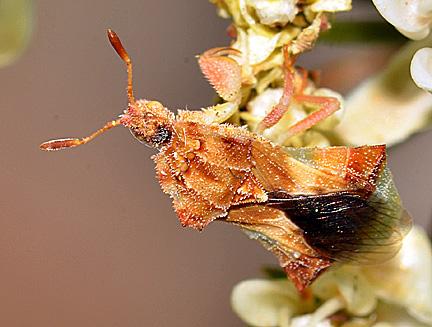 Phymata (rossi?) on milkweed - Phymata rossi
