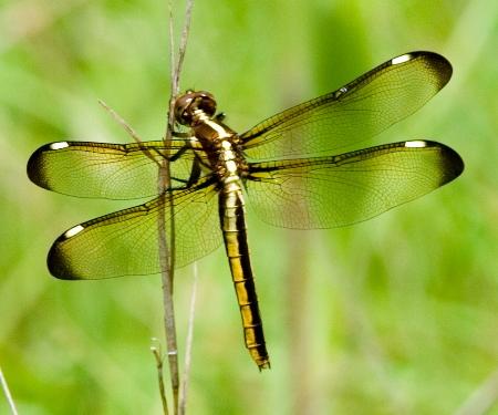 Spangled Skimmer - Libellula cyanea - female