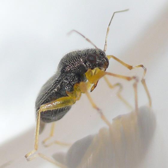 Aguayomiris pallipes (?) - Sixeonotus