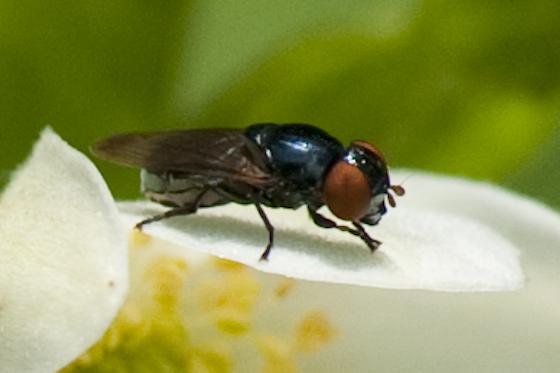 Fly - Chrysogaster