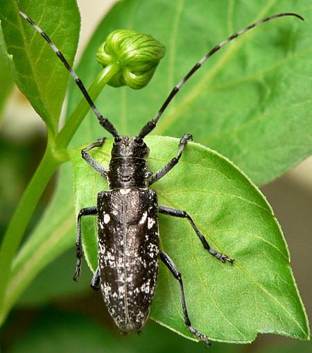 Pine Sawyer - Monochamus scutellatus - female