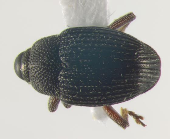 Curculionidae, dorsal - Idiostethus tubulatus