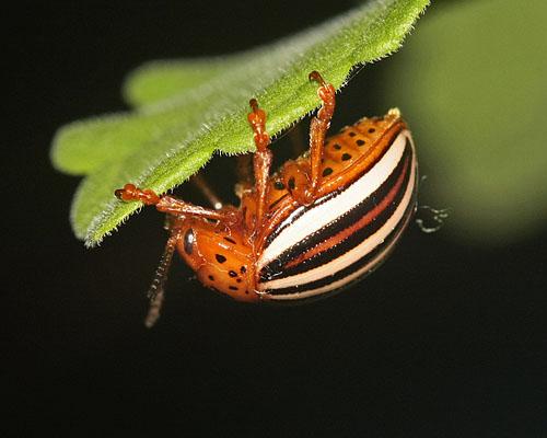 false colorado potato beetle - Leptinotarsa juncta