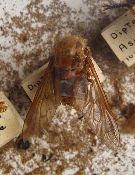 Carpet Beetle Damage - Anthrenus