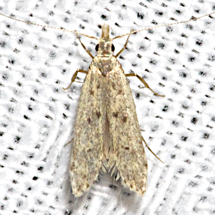 Many-spotted Dichomeris - Hodges#2288 - Dichomeris punctipennella