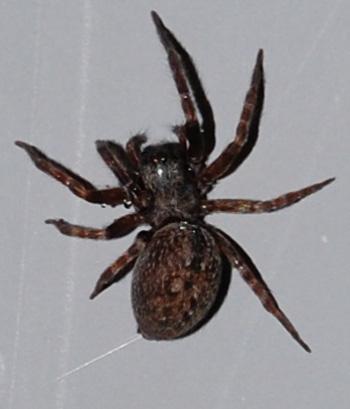 Wolf Spider or What? - Badumna longinqua