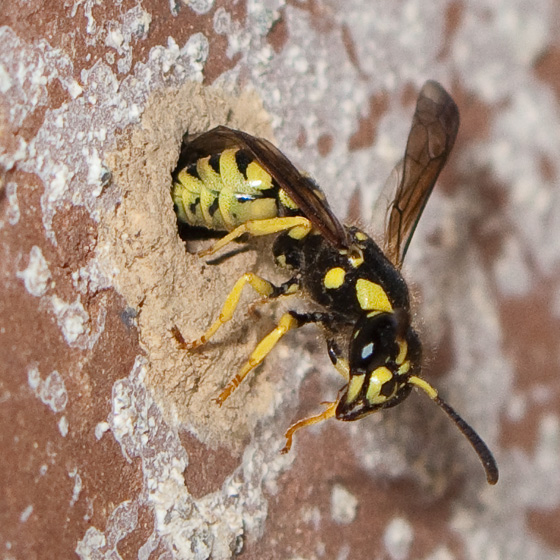 Brick-boring wasp - Ancistrocerus spilopterus - female
