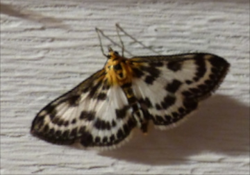 Small Magpie, Anania hortulata? - Anania hortulata