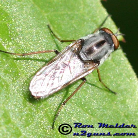 Stiletto Fly - Ozodiceromyia notata