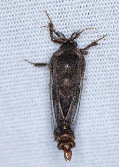 Evergreen Bagworm - Thyridopteryx ephemeraeformis - male