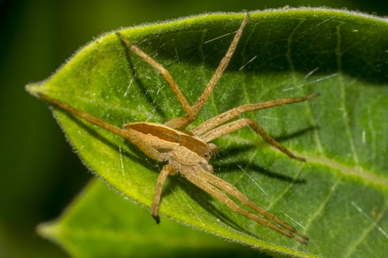 Brown spider 3 - Pisaurina mira