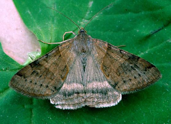 Clover Looper - Caenurgina crassiuscula - female