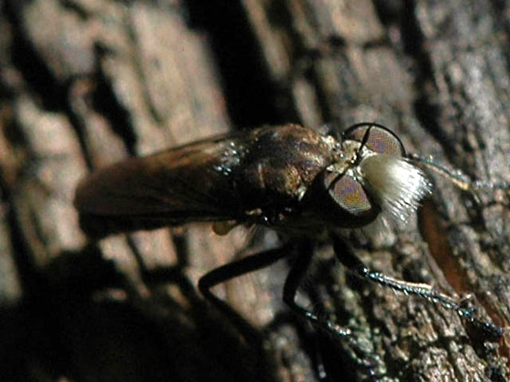 Cyrtopogon - Cyrtopogon lutatius - male