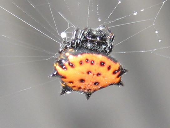 Crablike Spiny Orbweaver Spider - Gasteracantha cancriformis
