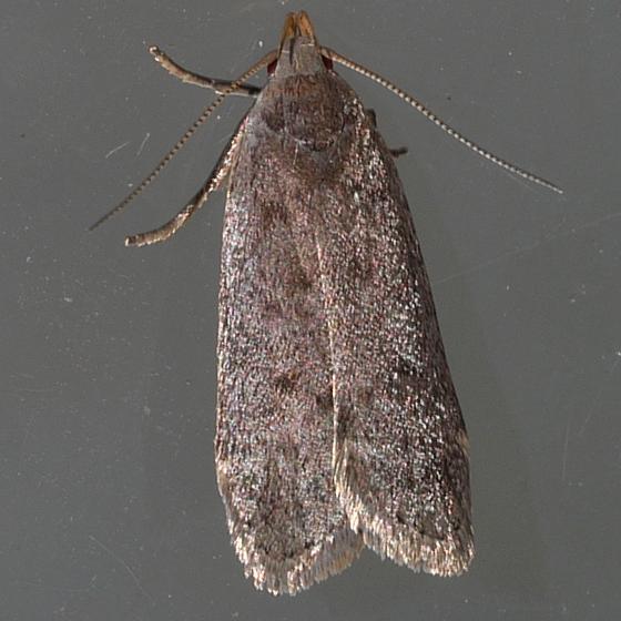 moth - June 24 - Anacampsis consonella
