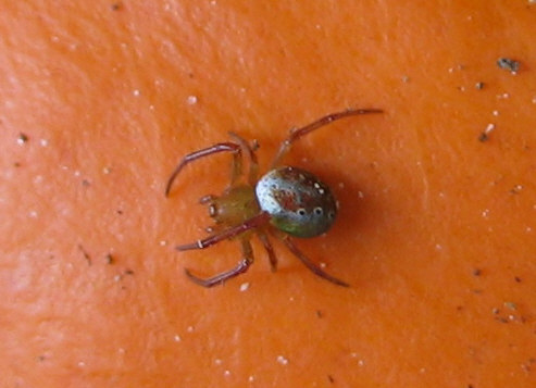 Small Spotted Spider - Araneus gadus