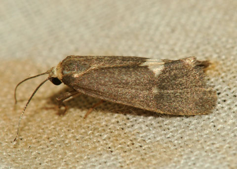 Moth attracted to black light - Cisthene liberomacula