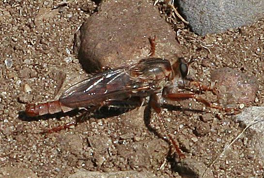 Scleropogon bradleyi