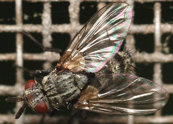 tachinid fly - Triarthria setipennis - female