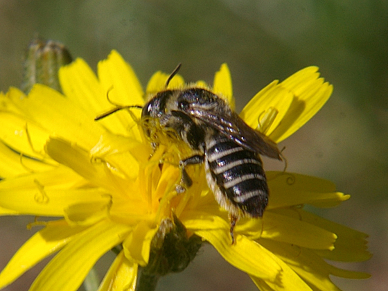 Leaf-cutter Bee - Megachile - female