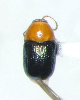 Diachus chlorizans
