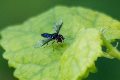 possible Aphoebantus out of range - blue bee fly - Ocyptamus