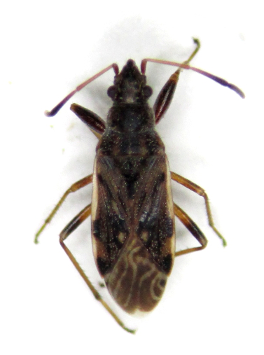 Ligyrocoris diffusus - female