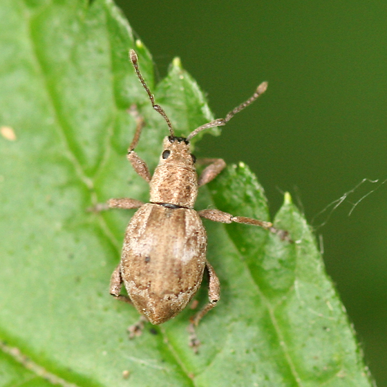 Broad-nosed Weevil - Sciopithes obscurus