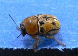 Yellow beetle? - Griburius larvatus