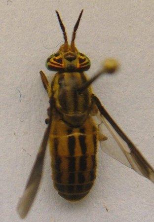 Deer Fly - Chrysops aberrans - female
