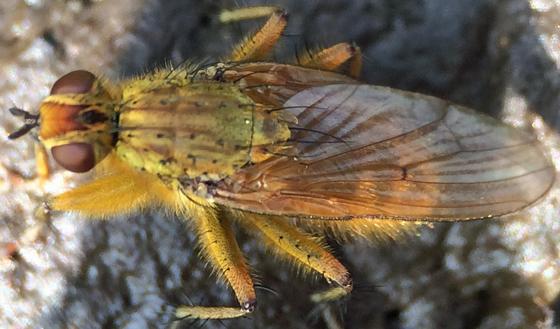 Golden fly on shit - Scathophaga stercoraria