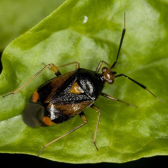 Deraeocoris - Deraeocoris ruber