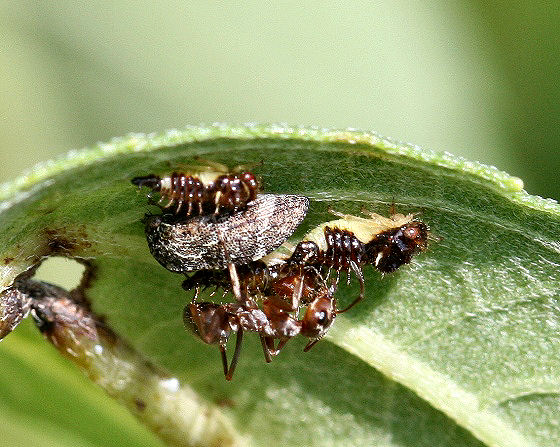 Adult and nymph treehoppers with ant attendants - Publilia concava
