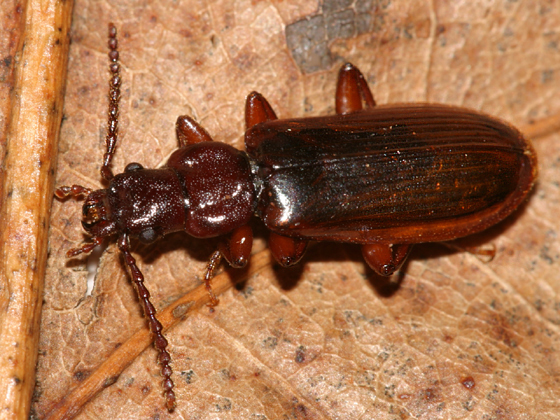 Beetle - Pytho americanus