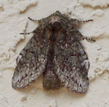 unknown moth - Heterocampa biundata