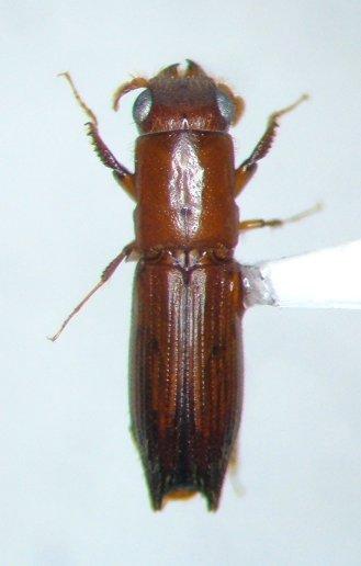 Euplatypus - Euplatypus compositus - male