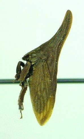 Membracid - Campylenchia latipes