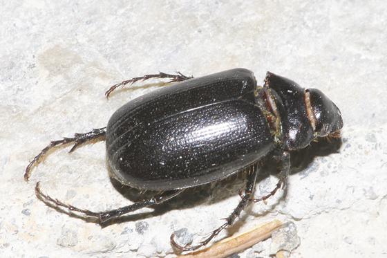 Aquatic Beetle??