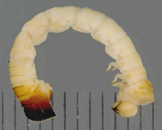Lymexylidae, Chestnut timberworm - Melittomma sericeum