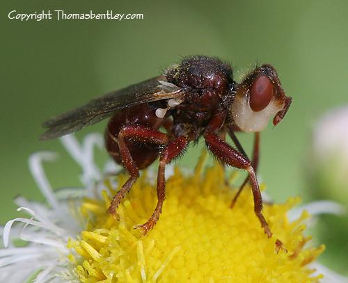 Fly - Myopa vicaria