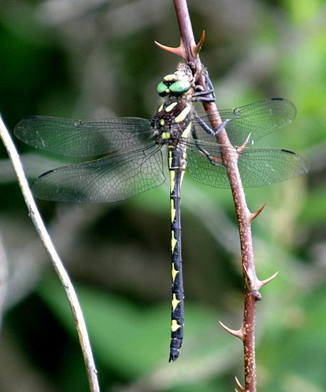 Arrowhead Spiketail - Cordulegaster obliqua - male
