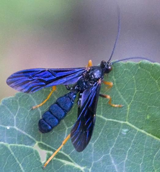 Large blue-black wasp with flat abdomen? - Trogus fulvipes - female