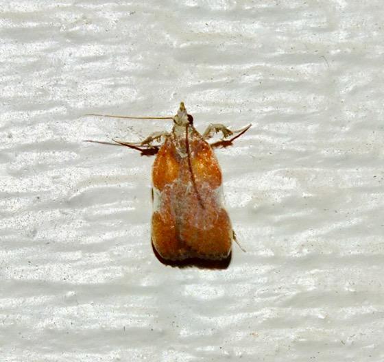 Boxwood Leaftier - Galasa nigrinodis