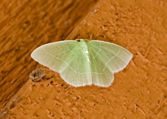 MothEmerald_Synchlora_sp05302019_GH_ - Nemoria mimosaria