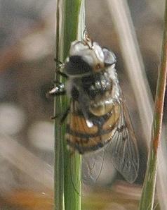 Solitary bee or bee-fly? - Copestylum avidum - female